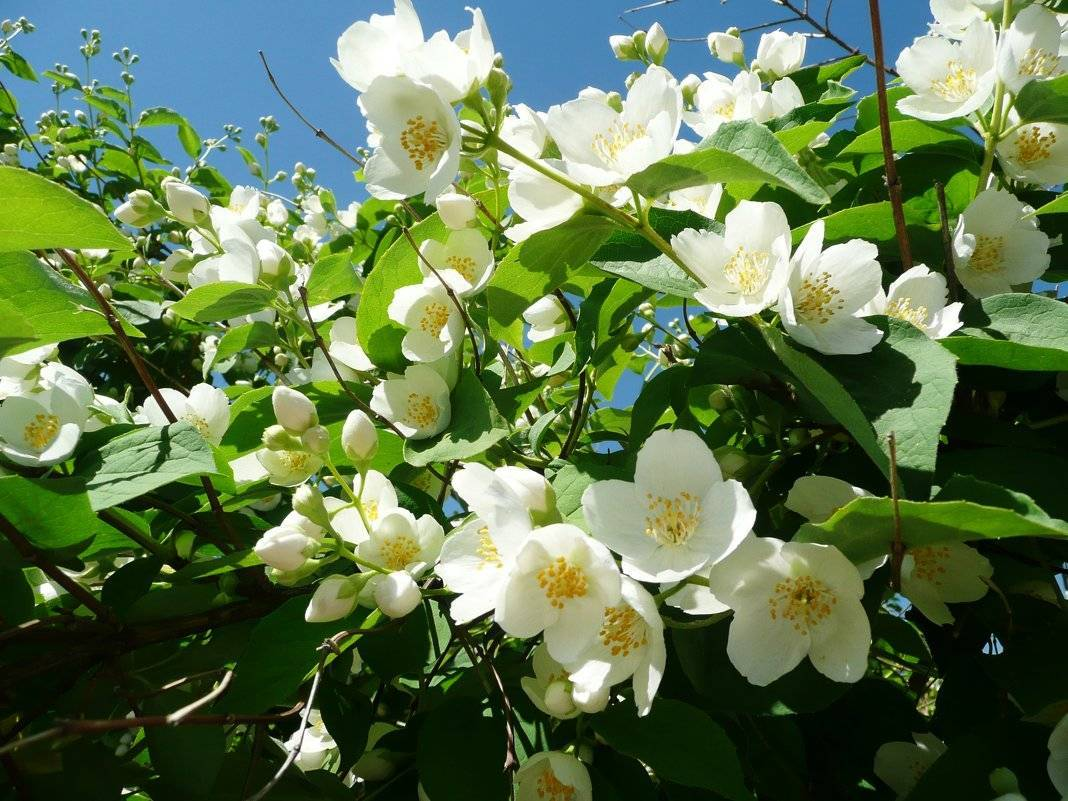 Размножение жасмина черенкованием в летнее время