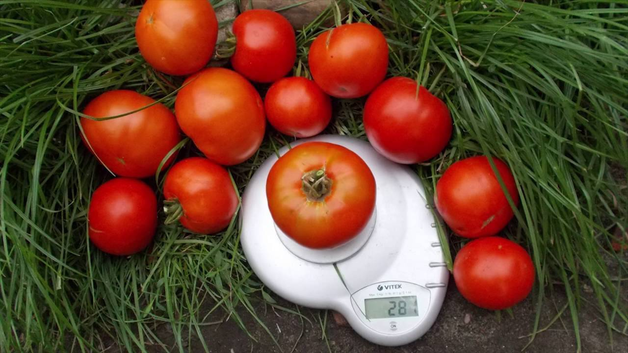 Томат «пудовик»: очень урожайный сорт с вкусными плодами