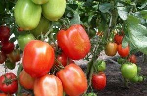 Характеристика и описание сорта томата сладкое чудо, его урожайность