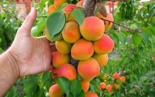 Всё об инжирном персике: от посадки до приготовления