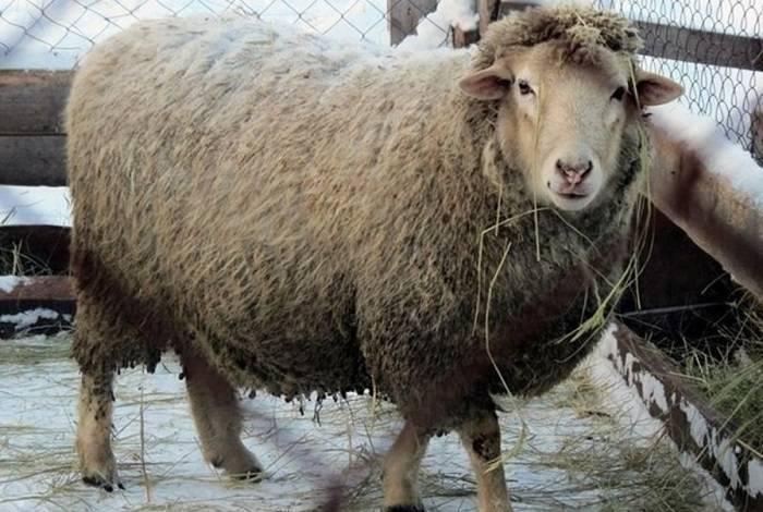 Правила содержания овец, обустройство стойла и составление рациона