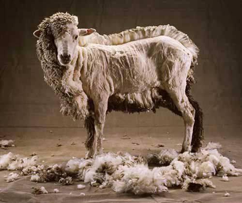 Можно ли и как правильно постирать овечью шкуру в домашних условиях