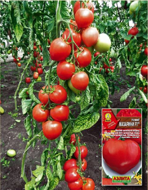 Характеристика и описание сорта томата Мазарини, его урожайность