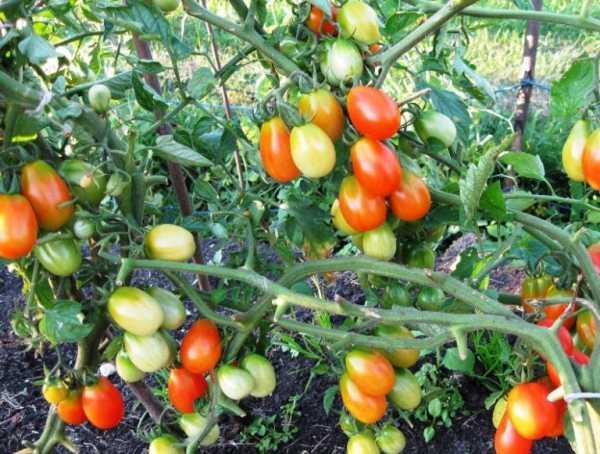 Характеристика и описание сорта томата Челнок, его урожайность