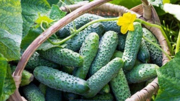 Огурец зозуля f1: описание сорта, отзывы, фото, посадка и уход, урожайность, достоинства и недостатки, особенности выращивания