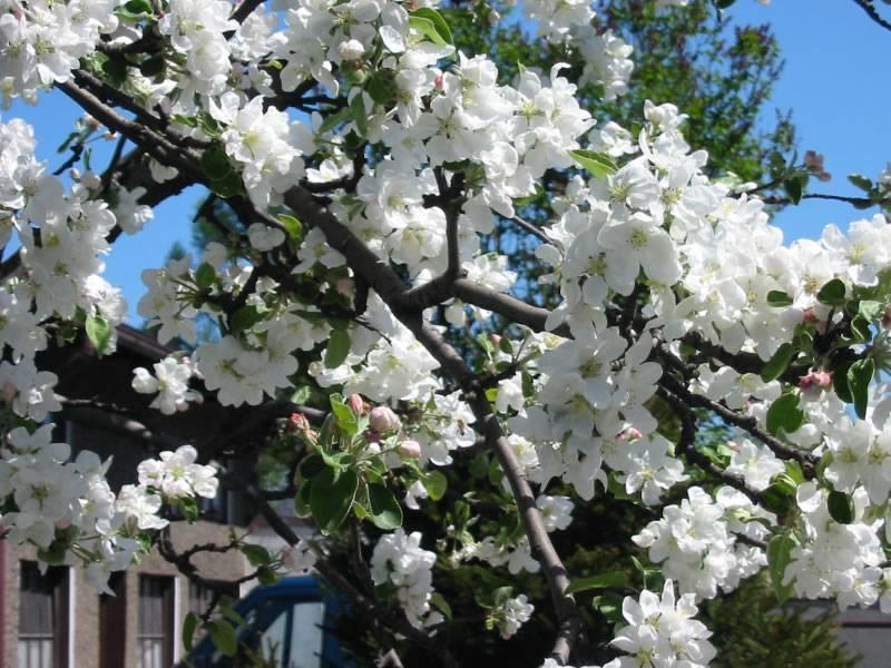 Яблоня заветное: особенности сорта и ухода