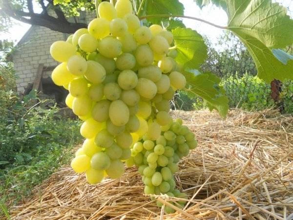 Описание сорта винограда рошфор, характеристики плодоношения и история селекции