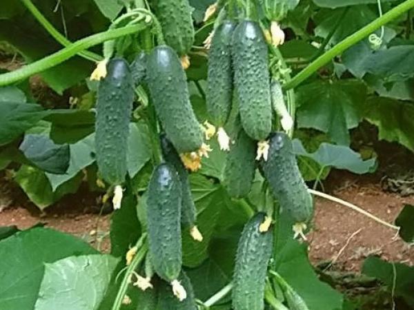 Огурец маша f1 выращивание