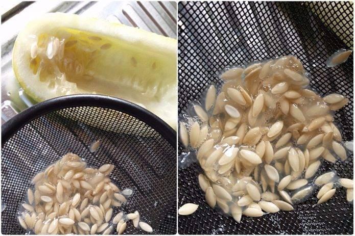 Предпосевная подготовка семян огурцов: способы обработки