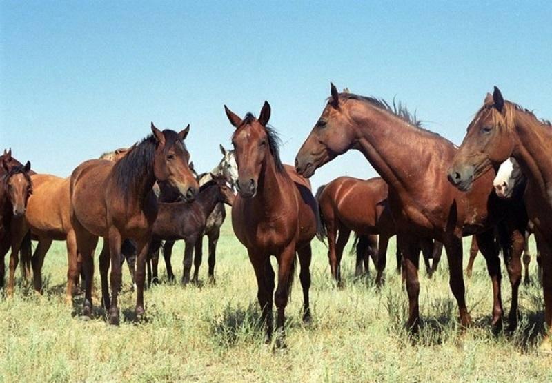 Можно ли разводить лошадей на продажу