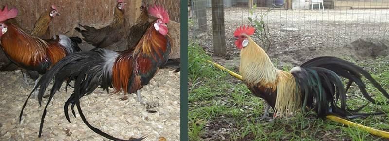 Феникс порода кур – описание, фото и видео