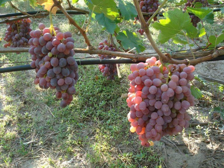 Рецепты приготовления вина из столового винограда в домашних условиях