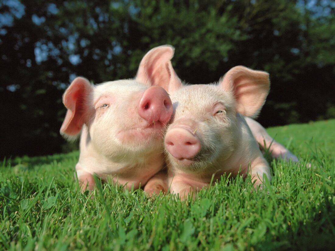 Температура у свиней норма причины повышения как измерить чем лечить