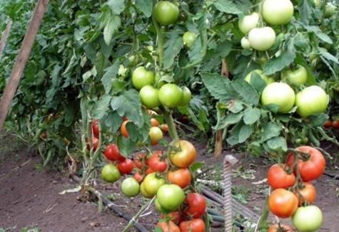 Описание сорта томатов катя