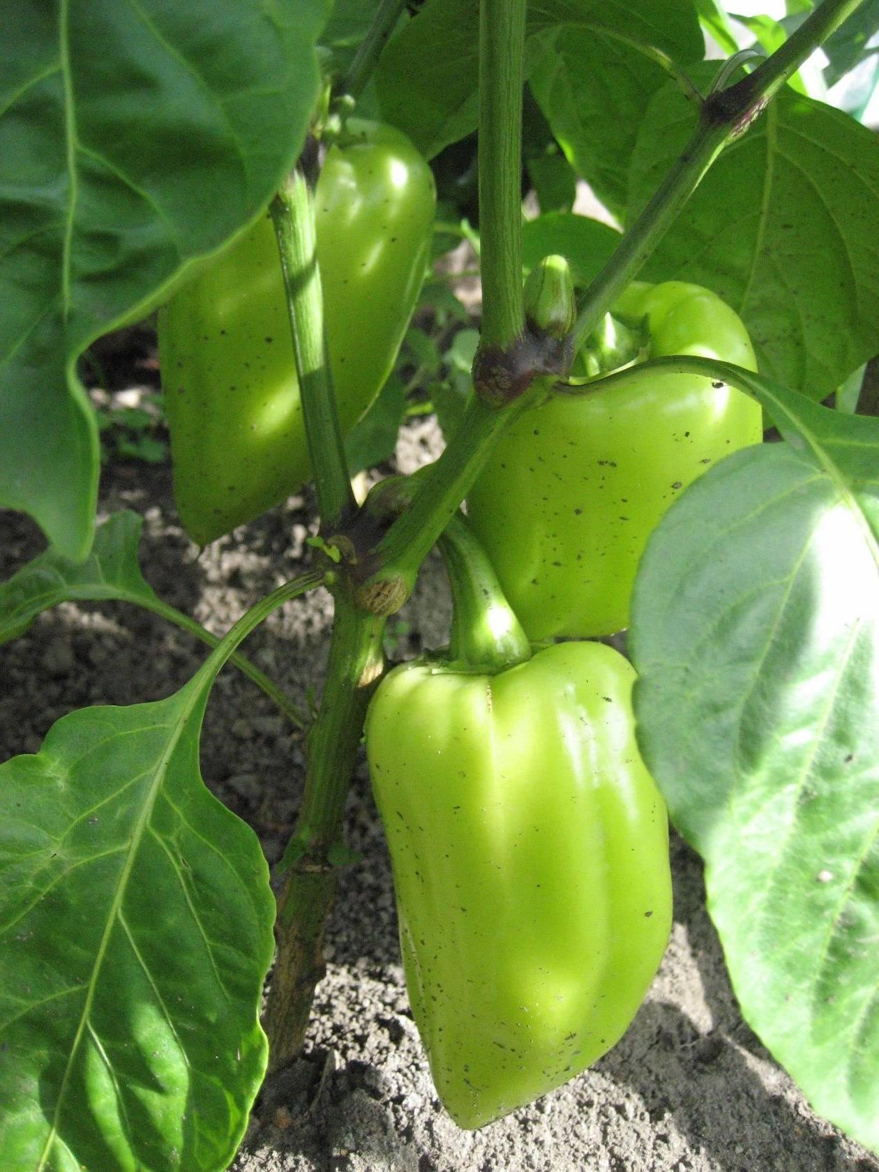 Перец «винни пух»: богатый урожай при правильном уходе