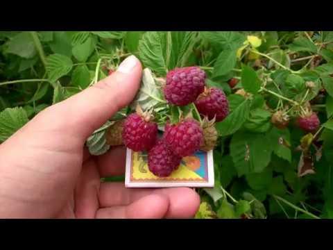 Малина «джоан джей» — описание сорта, агротехника выращивания, ухода и посадки ягоды в открытом грунте (фото)