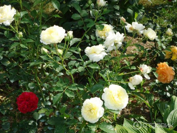 Особенности и популярные сорта мускусных роз, тонкости посадки и ухода