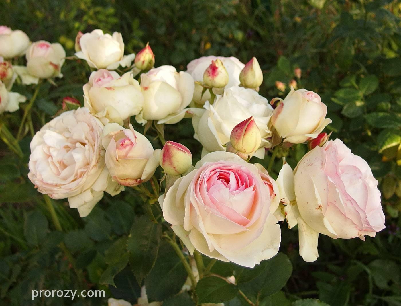 Описание розы пьер де ронсар