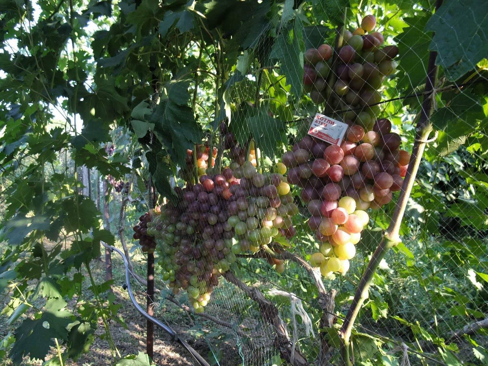 Описание винограда сорта - ланселот: характеристики, фото, видео, отзывы
