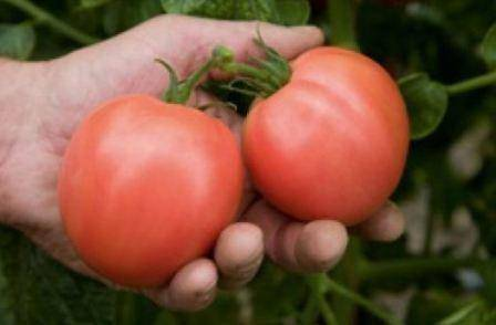 Гибрид томата торбей – розовоплодный, вкусный, лучший