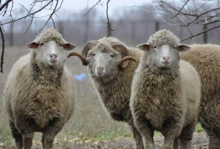 Овца меринос: особенности разведение и содержания
