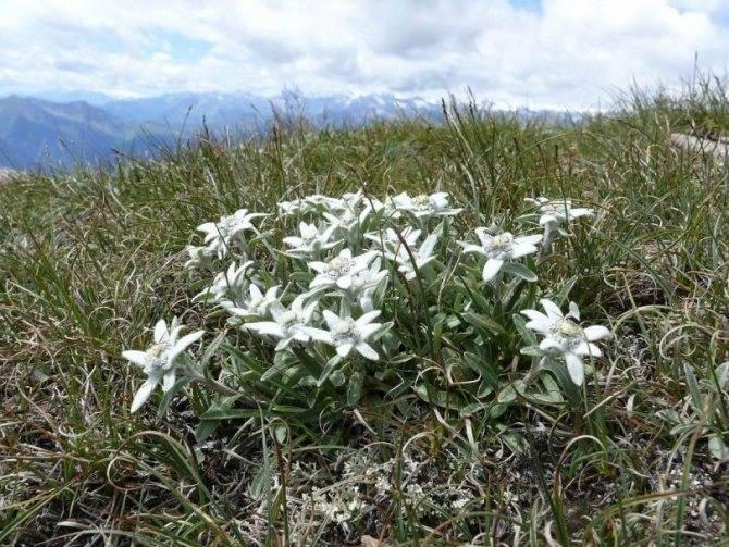 Эдельвейс: описание, виды, выращивание и лечебные свойства