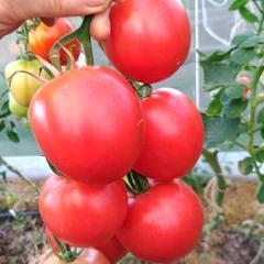 Описание томата малиновая империя: сроки созревания, урожайность и вкус
