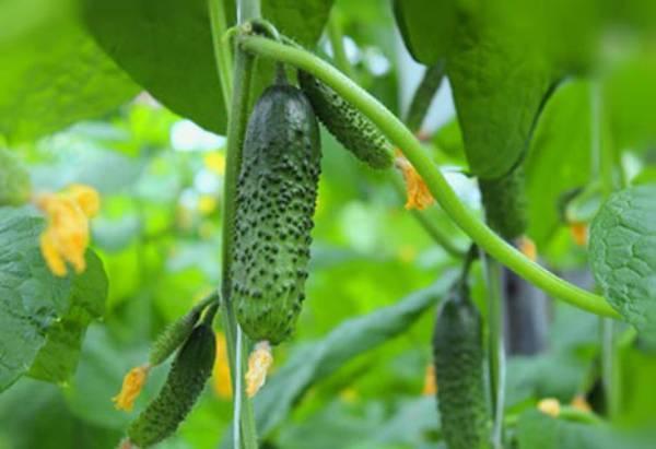 Аякс f1 – гибридный огурец для мелких и крупных фермерских угодий