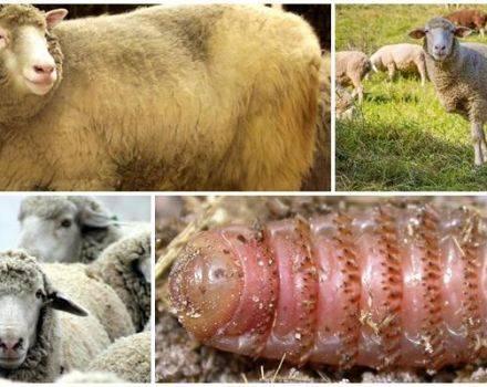 Ценуроз овец: описание, симптомы, лечение и профилактика