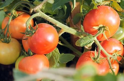 Основные характеристики, описание и урожайность томата клуша