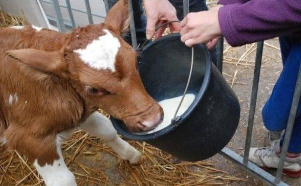 Как правильно разводить сухое молоко для телят?