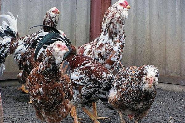 Описание и характеристики Орловских кур, правила содержания породы