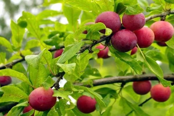Сливово-вишневый гибрид: описание сорта, фото, отзывы