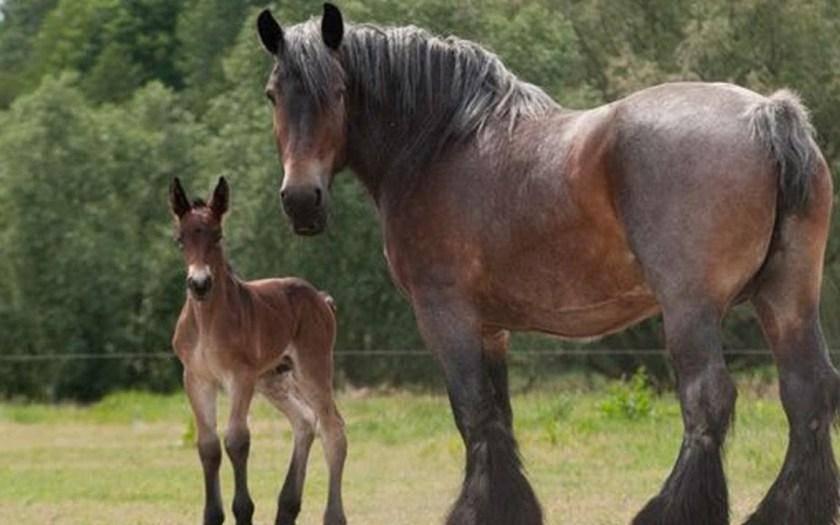 Для чего разводят самых больших лошадей?