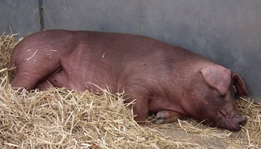 Описание породы свиней дюрок