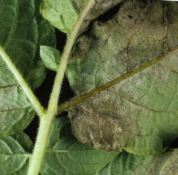 Почему картофельная ботва кучерявится: причины, как лечить