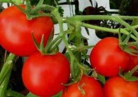 Описание томата фейерверк и особенности выращивания растения