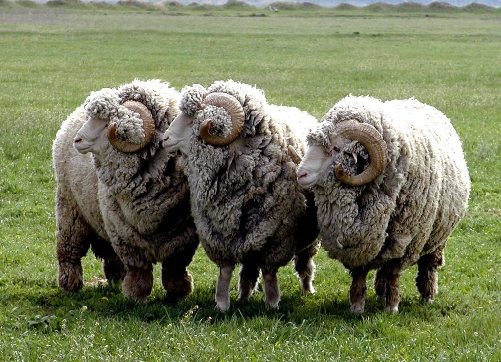 Меринос овца. образ жизни и среда обитания овцы меринос