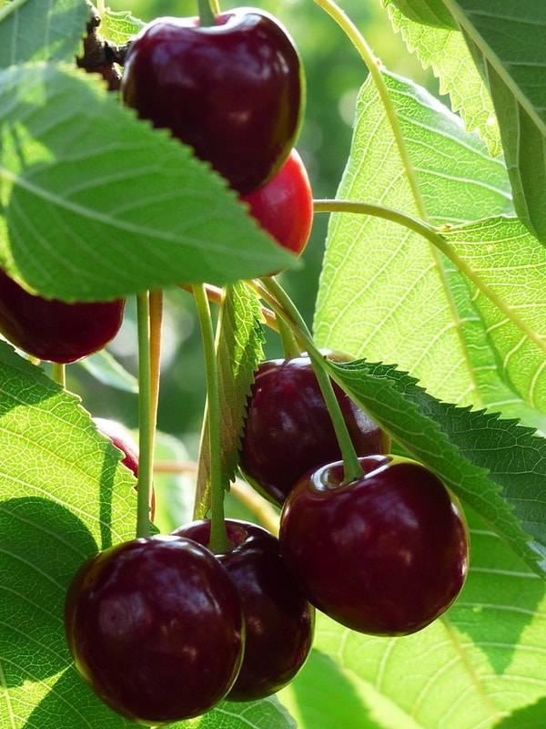 Описание сорта вишни морозовка, характеристика зимостойкости и опылители
