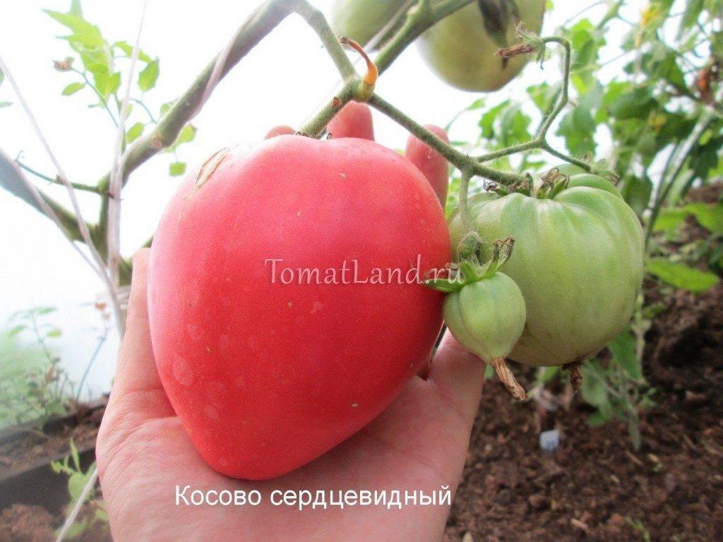 Характеристика и описание сорта томата Косово