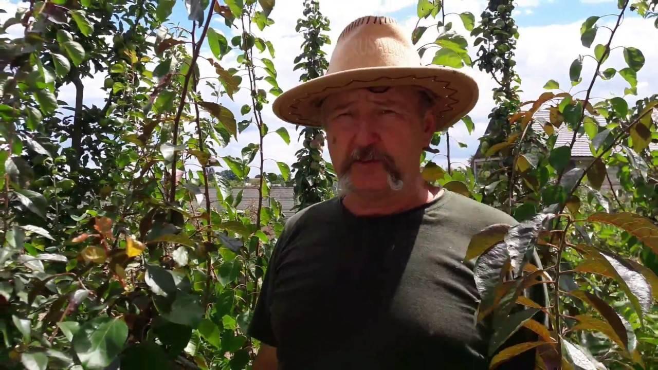 Описание и характеристики алычи сорта злато скифов, опылители и выращивание