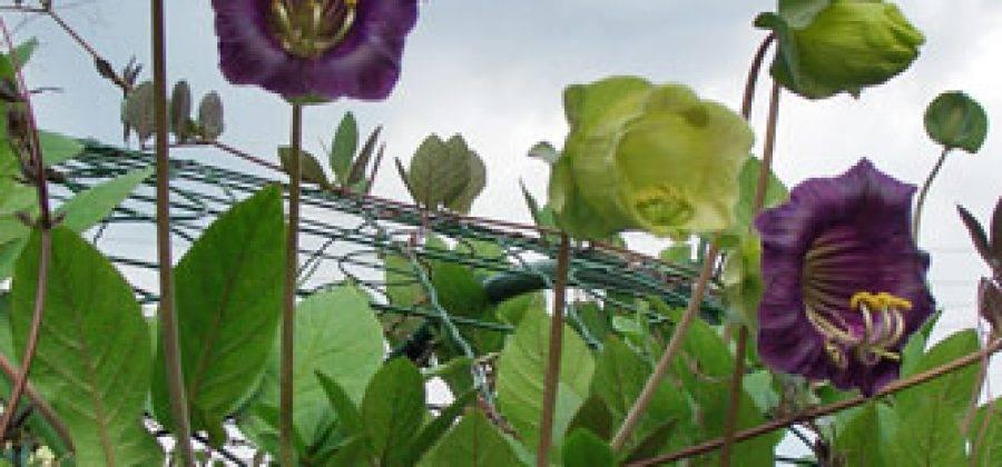 Посадка и уход за кобеей в открытом грунте, выращивание из семян и как сохранить