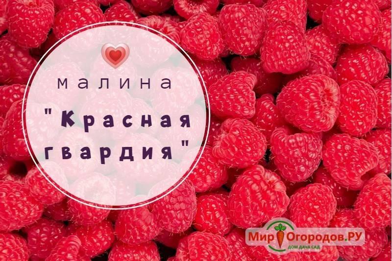 Малина краса россии — крупноплодное чудо селекционера виктора кичины
