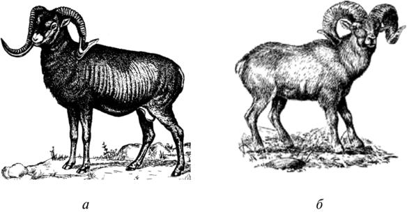 Муфлон: особенности животного и его выращивание