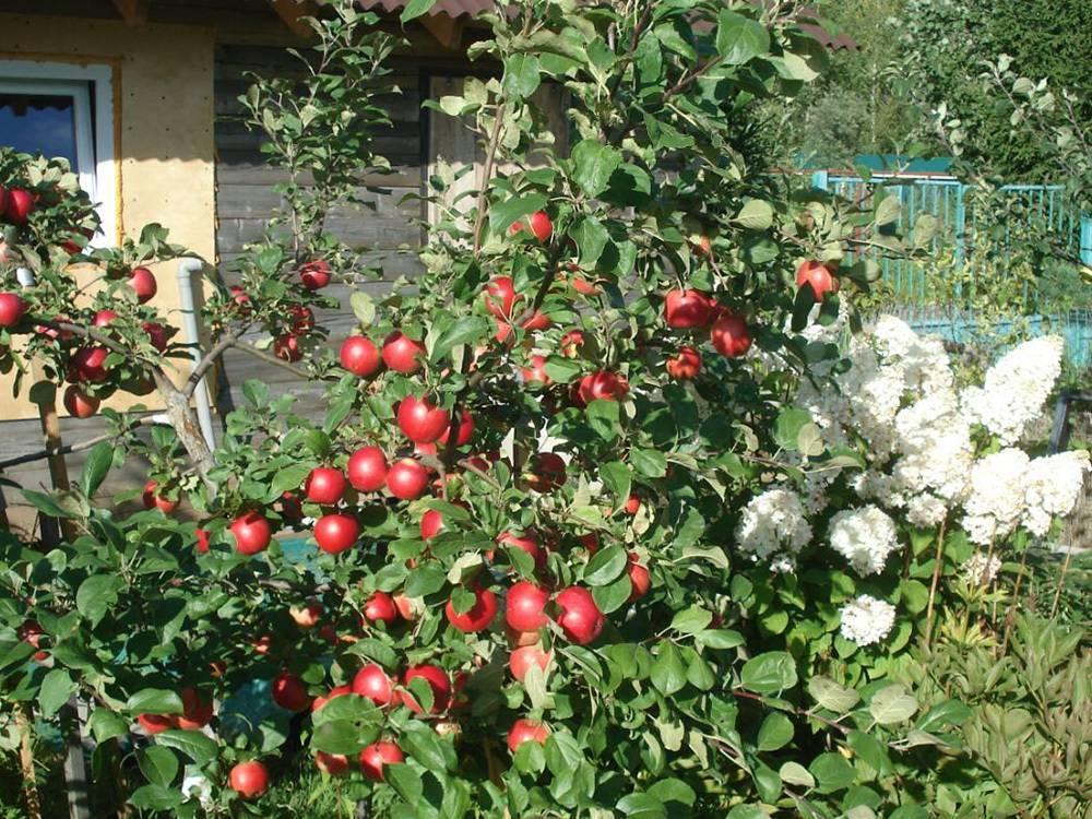 Яблоня юнга: особенности сорта и ухода
