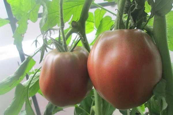 Томат сердце ашхабада: описание сорта, характеристики, особенности выращивания, отзывы