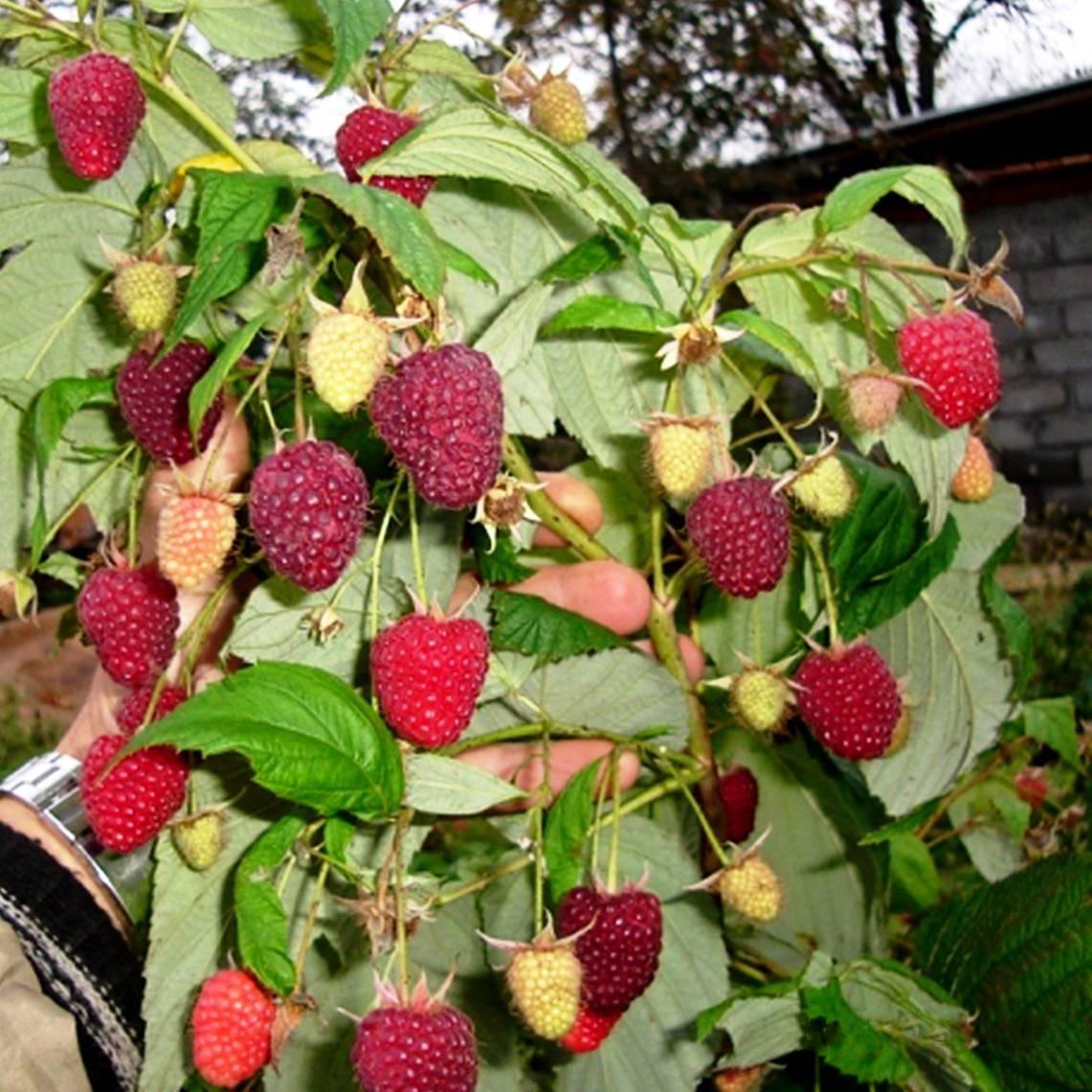 Когда можно собирать листья малины для сушки на зиму, сроки и правила и где хранить