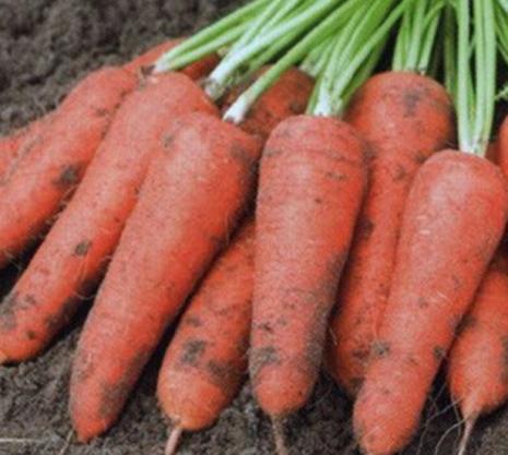 Характеристика моркови сорта абако f1