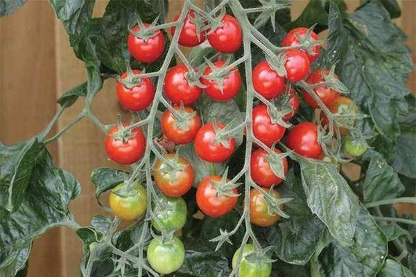 Характеристика и описание томата «рапунцель»