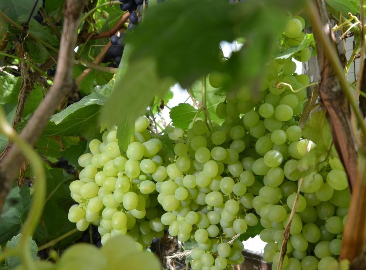 Виноград алёшенькин (алёшенькин дар). характеристики сорта, правила посадки